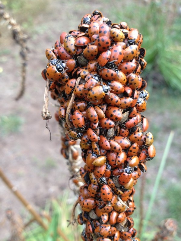 The ladybugs are clustering as they prepare to hibernate.