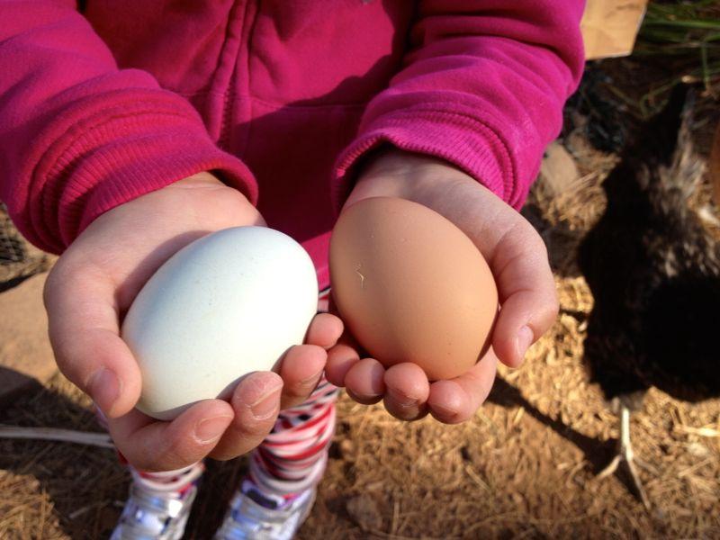 Chicken Eggs!