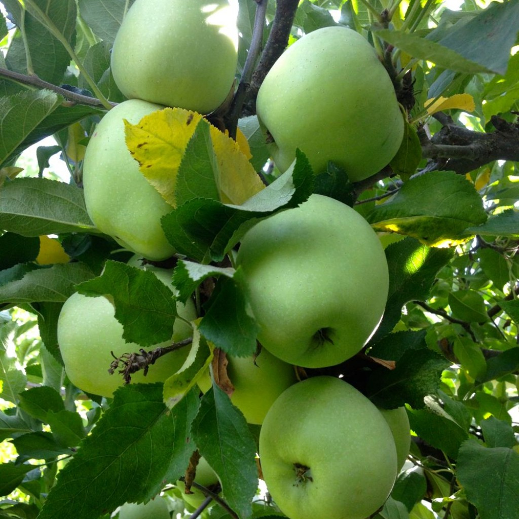 Albos apples
