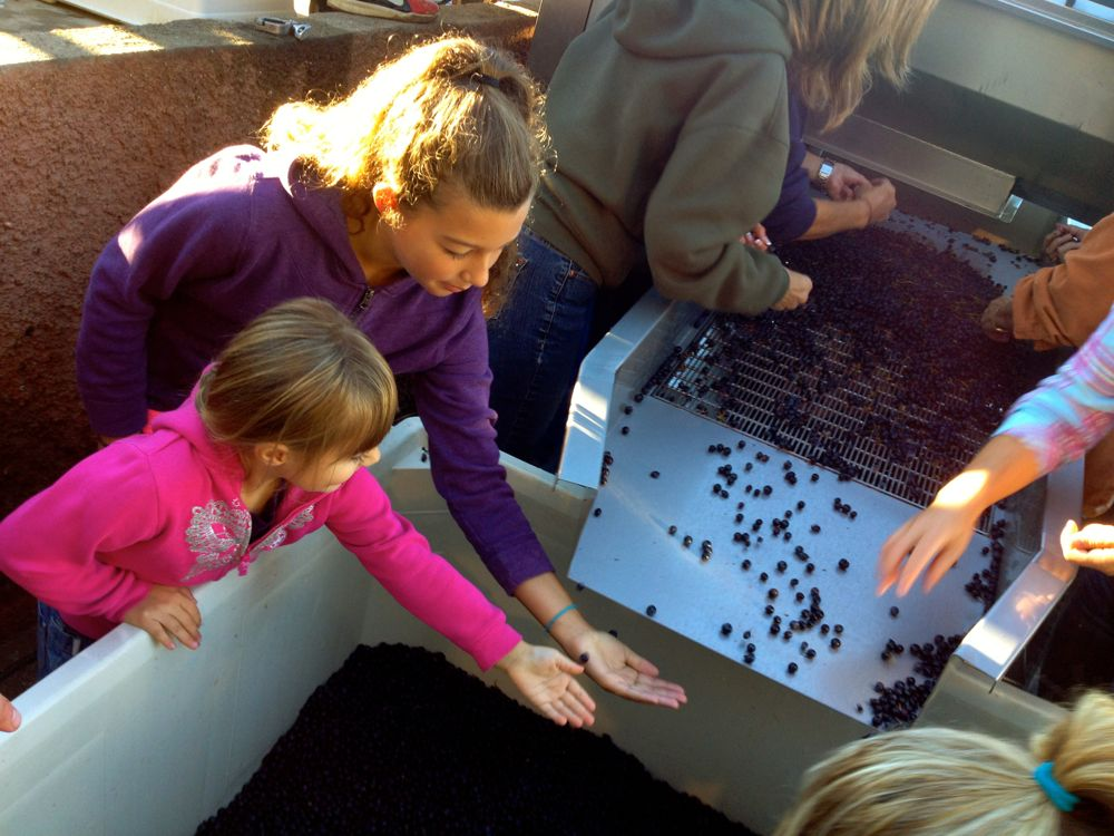 girls sorting grapes