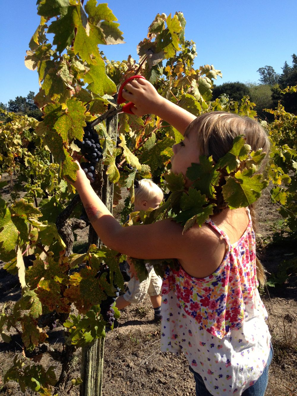 kids picking grapes