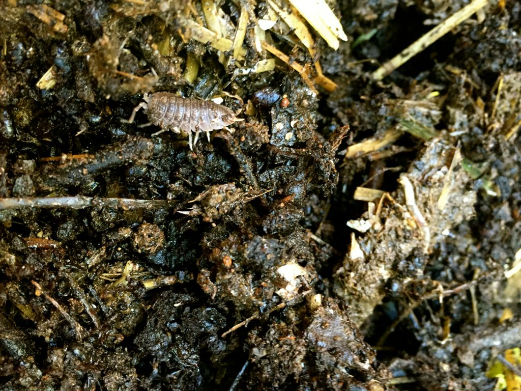compost bugs