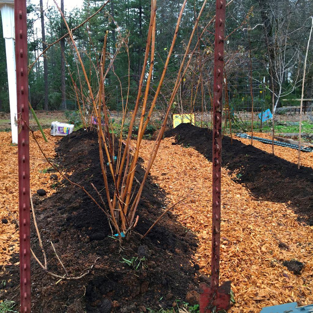 new raspberry hugelkultur beds