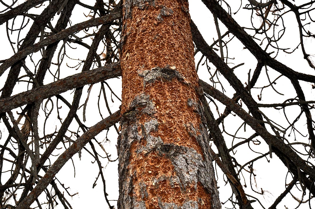 beetle kill tree
