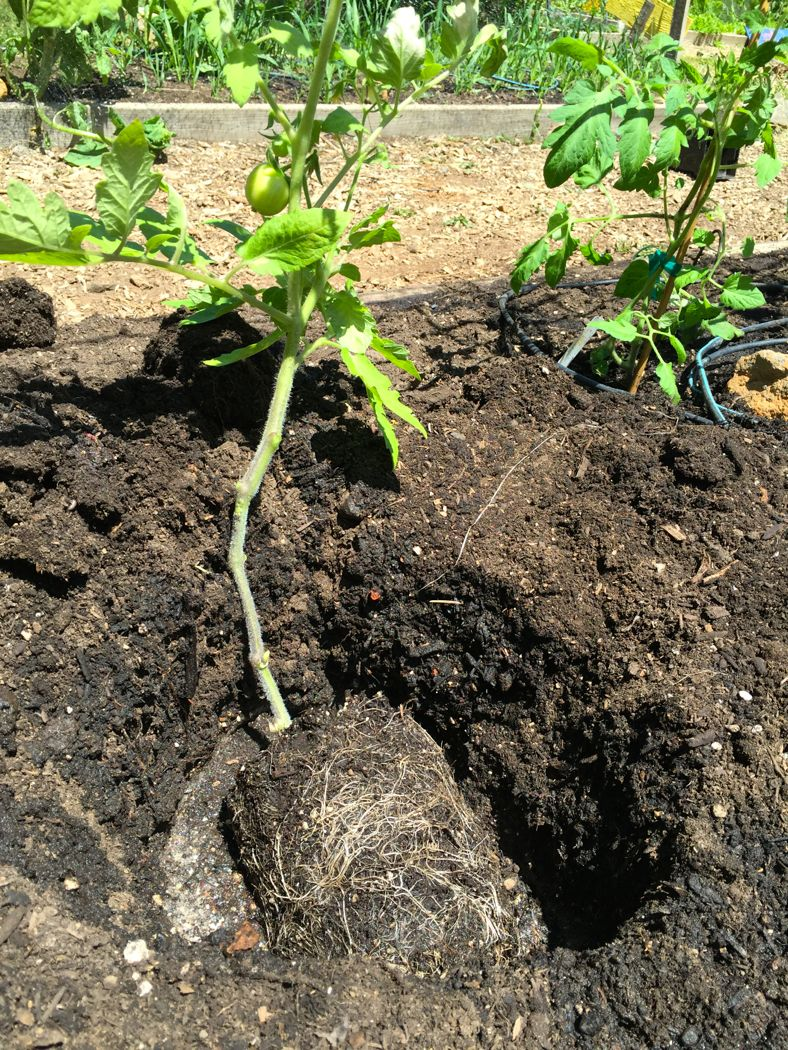 tomato plant in a hole