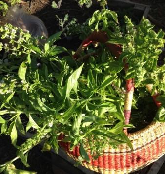 Basil Harvest, simple pesto recipe