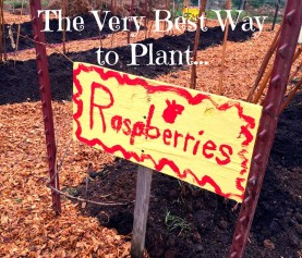 The Very Best Way to Plant Raspberries