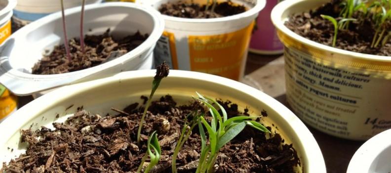 Yogurt Cup Seedlings